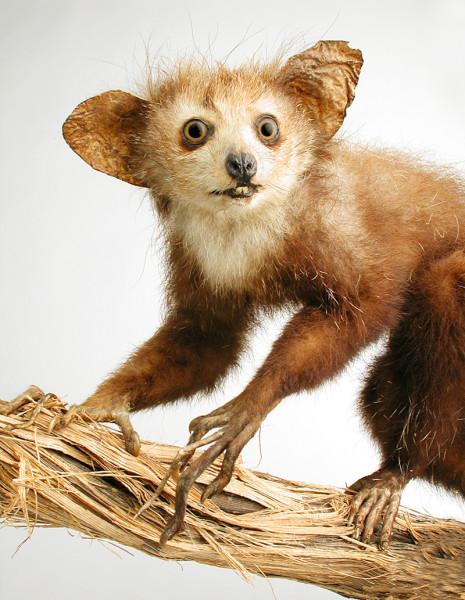Fingertier (Daubentonia madagascariensis) in der Naturkunde. Ein auf Madagaskar lebender, nachtaktiver Allesfresser / Foto: Lippisches Landesmuseum Detmold