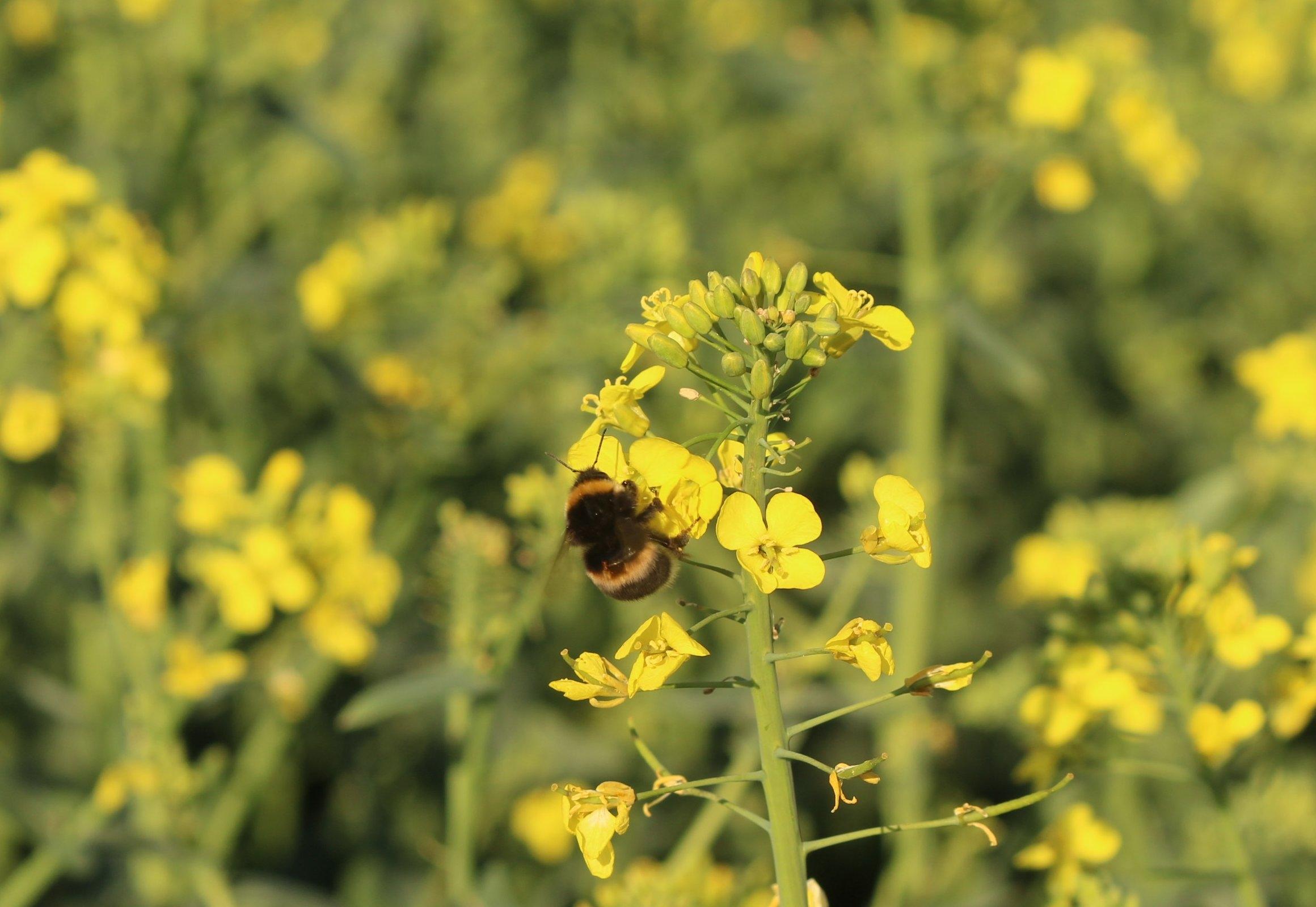 Atemberaubend Raps lockt mit ersten Blüten Bienen an | Lippe News &IP_39