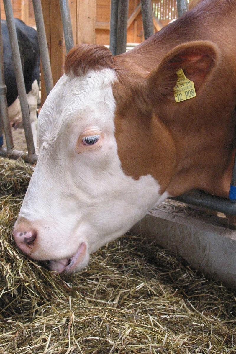 Schwitzen Kühe